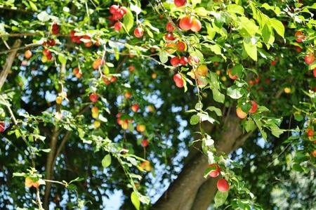 Mirabellen im Garten